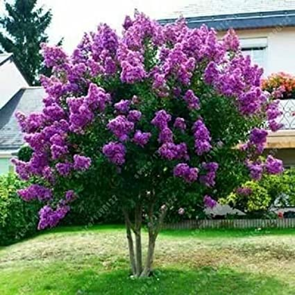 40 Japanese Tree Purple Lilac Seeds Hardy Perennial Powerful Lovely Fragrant Amazon Co Uk Diy Tools