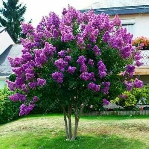 40+ JAPANESE TREE PURPLE LILAC SEEDS / HARDY PERENNIAL POWERFUL LOVELY FRAGRANT ()