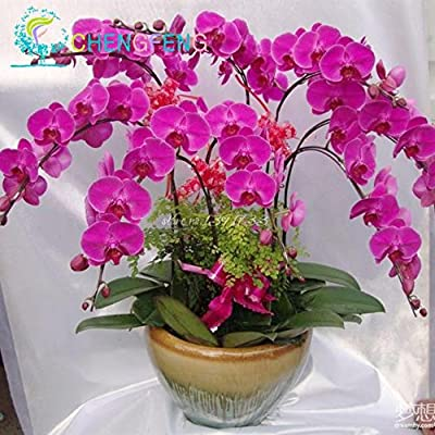 100pcs Phalaenopsis Orchid Bonsai Butterfly Orchid Bonsai Rare Beautiful Flower Bonsai Home and Garden Free
