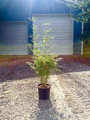Golden Goddess Bamboo Multiplex Live Plant Privacy Hedge
