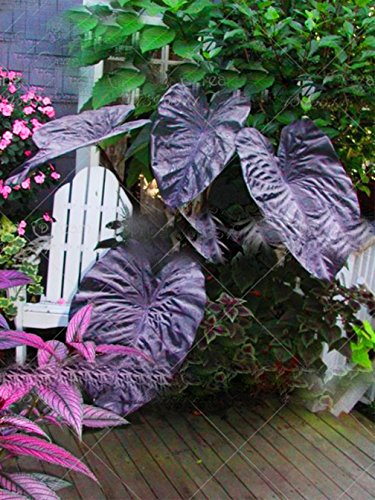 5pcs Big Leaf Palm Seeds Rare Flower Seeds Exotic Plants