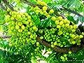 5 Seeds Tahitian Gooseberry phyllanthus acidus Malay Star Tree Fruit Rare Exotic