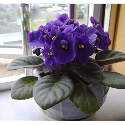 50pcs Violet Seeds African Violet Plants Seeds Indoor Balcony Flowers Plant for Home Garden Easy to Plant Flower Plant Flower Plants Seeds : Garden & Outdoor