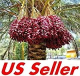 7 PCS Medjool Date Palm Seeds E31, Organic Bonsai Phoenix Dactylifera US Seller