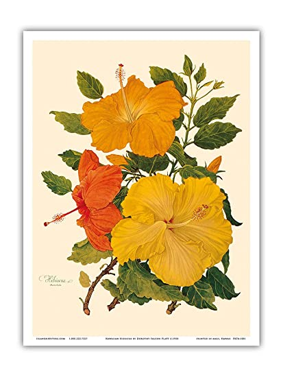 Hawaiian Hibiscus - Honolulu, Hawaii - Vintage Botanical Illustration by  Dorothy Falcon Platt c 1950 - Hawaiian Master Art Print - 9in x 12in