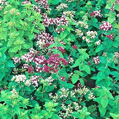 Cutdek 500+Italian Oregano Seeds Organic Italian Herb Grow Indoors/Out Container/Garden : Garden & Outdoor
