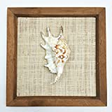 PEPPERLONELY 8x8 Inch Wood Framed Lambis Spider Conch Shell, Sea Shell Art Wall Décor