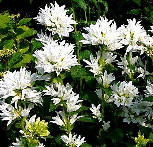 (White Clustered Bellflower seeds - Campanula glomerata alba)