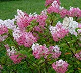 Strawberry Sundae Pink Panicle Hydrangea - Quart Pot