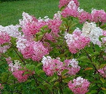 Amazon.com: Strawberry Sundae Pink Panicle Hydrangea - Quart Pot ...