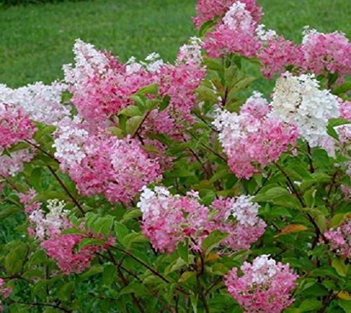 Vanilla Strawberry Hydrangea - Live Plant - Quart Pot