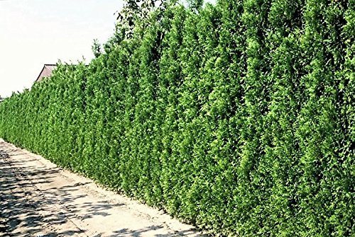 Thuja occidentalis Brabant 10 Pflanzen im Container jeweils 100-120 cm. Gesamthöhe Frisch aus der Baumschule