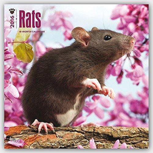 Rats 2016 - Ratten - 18-Monatskalender: Original BrownTrout-Kalender [Mehrsprachig] [Kalender] (Wall-Kalender)