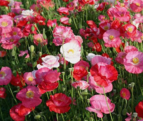 New Poppy , POPPY - SHIRLEY MIX , Corn Poppy Flower - Papaver Rhoes 'Mix' 16000 Seeds ! (Shirley Mix)