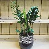 """AMERICAN PLANT EXCHANGE ZZ Zanzibar Gem Live Plant, 6"""" Pot, Indoor/Outdoor Air Purifier"""