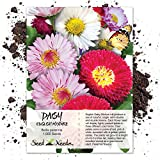 Seed Needs, English Daisy Mixture (Bellis perennis) 1,000 Seeds