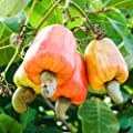 Cashew Nut Apple, Anacardium Occidentale, Rare Tropical Plant Tree 5 Seeds