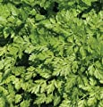 David's Garden Seeds Herb Chervil Vertissimo D2441 (Green) 500 Open Pollinated Seeds