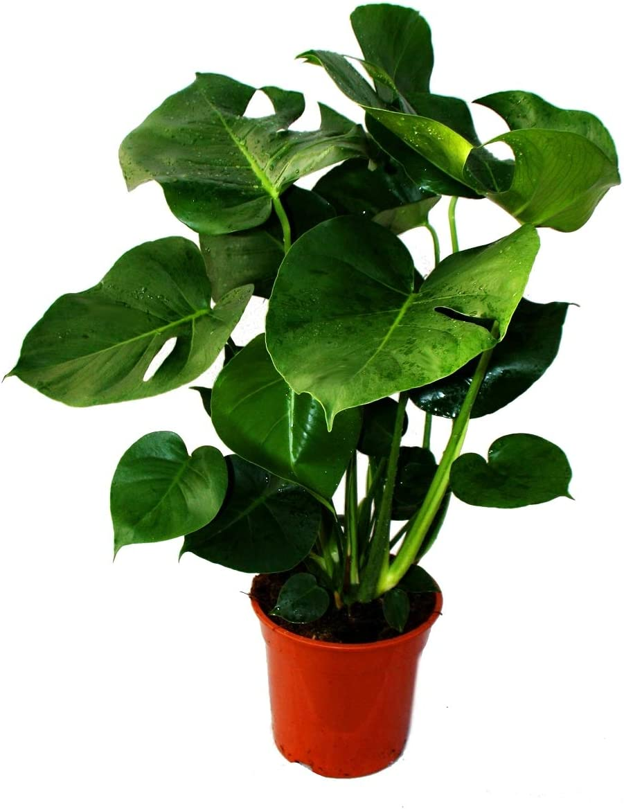 Monstera deliciosa - window leaf - 21cm pot - ca. 50-60cm high