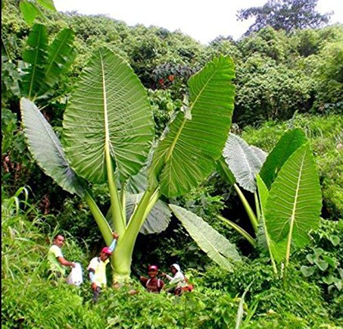3 LIVE BULBS Colocasia gigantea Thailand Giant Thai Giant Elephant Ear Huge Leaf