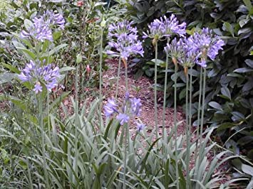 Amazoncom Dwarf Lily Of The Nile 35 Seeds Agapanthus Perennial