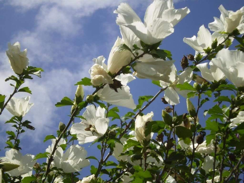 50 WHITE DOUBLE ROSE OF SHARON HIBISCUS Syriacus Flower Tree Bush Shrub Seeds MixComb S/H