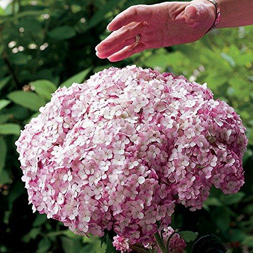"Incrediball Blush Hydrangea Perennial - Huge Flowers - 4"" Pot - Proven Winners"