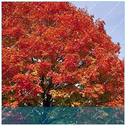 Seed 20pcs Northern Sugar Maple High Life Expectancy of Trees Maple Fall Colors Tree Spring Forest Plants