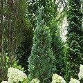 "Pinpoint Blue False Cypress - 4"" Pot - Chamaecyparis"