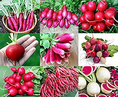 100+ ORGANICALLY GROWN Radish MIX 9 Varieties Seeds, Heirloom NON-GMO, Colorful, Pink, Red, White, Sweet and Mild, From USA