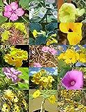 UNCARINA Variety Mix, magadascar Plant Caudex Succulent Desert Bonsai 30 Seeds