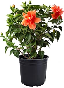 AMERICAN PLANT EXCHANGE Hibiscus Live Plant, 3 Gallon, Double Peach Bloom