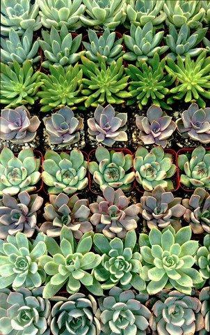 100 Rosette Succulents From Jiimz California Licensed Nursery