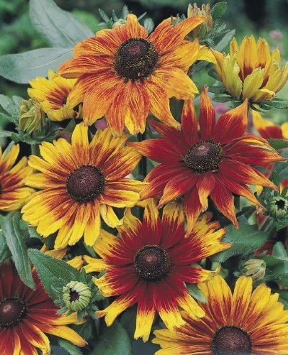 - -Bulk- RUDBECKIA Autumn Colors
