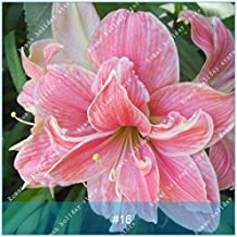 ZLKING 1 Pcs/pack Big True Amaryllis Bulbs Indoor And Outdoor Potted Flowers Plants Flower Bulb Bonsai Survival Rate Is High 16