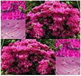 3 Packs x 300 Rose Azalea - Rhododendron rosea SEEDS - GREAT FOR ACCENT AND GENERAL USE - ZONE 5 AND UP - By MySeeds.Co