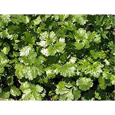 Toyensnow - Coriander Leisure Cilantro Seeds - Microgreens or Planting (8000 Seeds or 1/4 LB) : Garden & Outdoor
