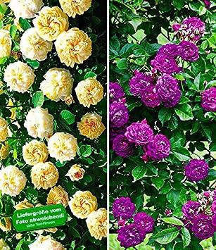 BALDUR-Garten Rambler-Rosen-Sortiment\