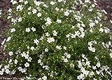 White Happy Face Bush Cinquefoil - Potentilla - Pure White - Proven Winners
