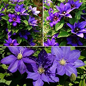 Auntwhale 100Pcs / Pack Climbing Clematis Seed 11