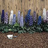 Delphinium Magic Fountain Series Flower Seeds - Multi-Color Mix - 1000 Seeds - Perennial Flower Garden Seeds - Delphinium elatum