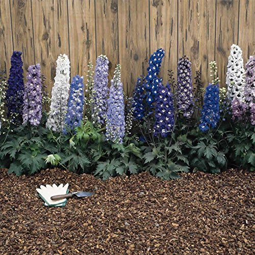 Delphinium Magic Fountain Series Flower Seeds - Multi-Color Mix - 1000 Seeds - Perennial Flower Garden Seeds - Delphinium elatum by Mountain Valley Seed Company