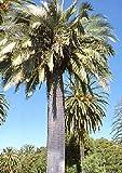 TROPICA - Palma di miele Cilena (Jubaea chilensis) - 3-semi
