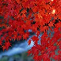 Maple Seeds Chinese Bonsai Maple Tree Seeds Bonsai Plants Trees for Flower Pot Planters, Blue/Red