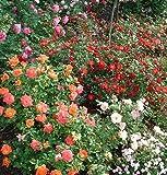 Bodendeckerrosen - Wählen Sie Ihre Wunschrose
