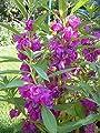 Purple Impatiens- 30 Seeds