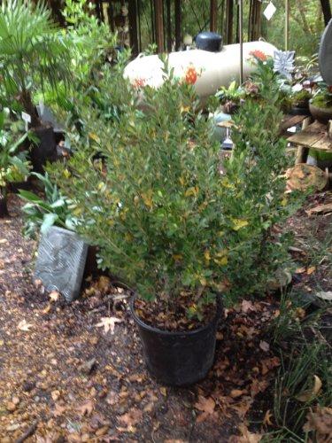 Densa Inkberry Holly (Ilex glabra 'Densa')