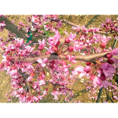 20 WEEPING EASTERN REDBUD SEEDS : Garden & Outdoor