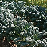 David's Garden Seeds Kale Toscano D2123A (Green) 500 Organic Heirloom Seeds