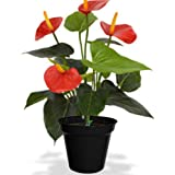 poudha.com Anthurium Red Outdoor Red Flowering Plant